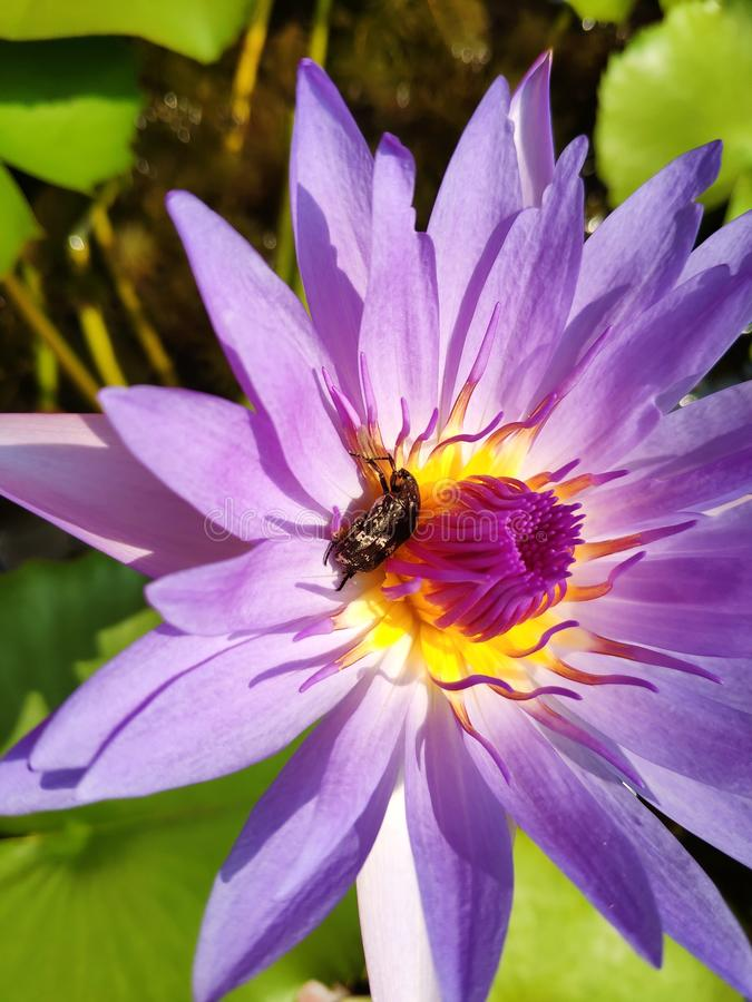 Violet water lily and beetle  on pollen. Violet water lily  beetle pollen purple yellow closeup little royalty free stock image
