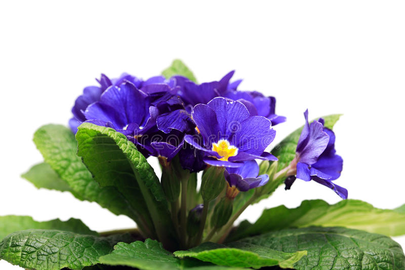 Violet On White. Closeup of nice violet flower with green leaves on white background stock photo