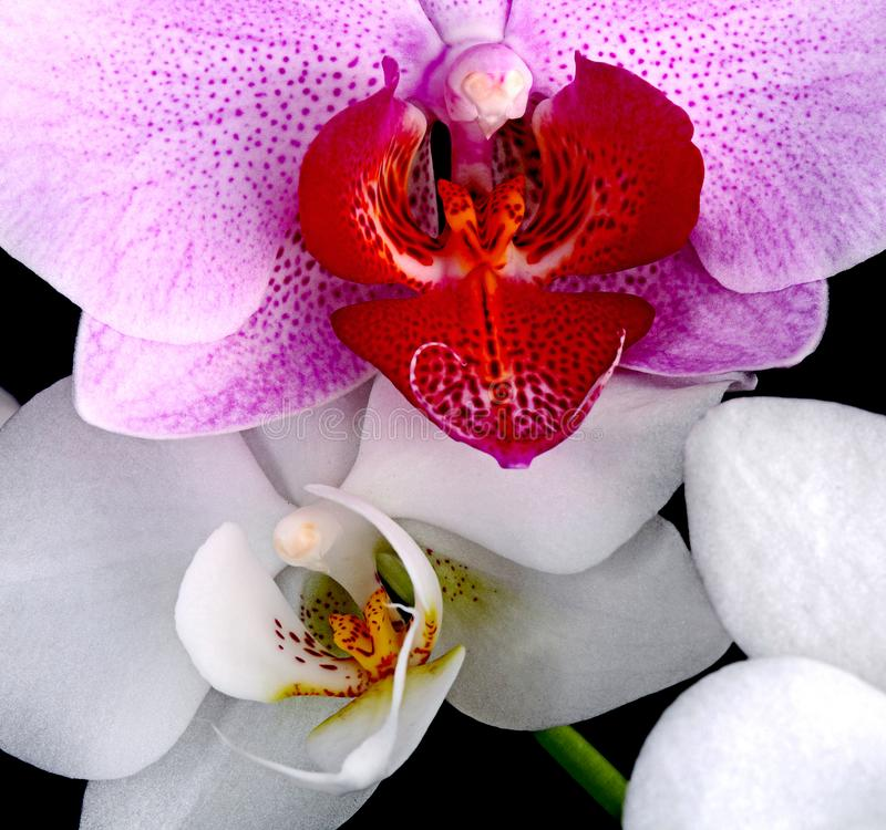 Violet and white orchids stock photo