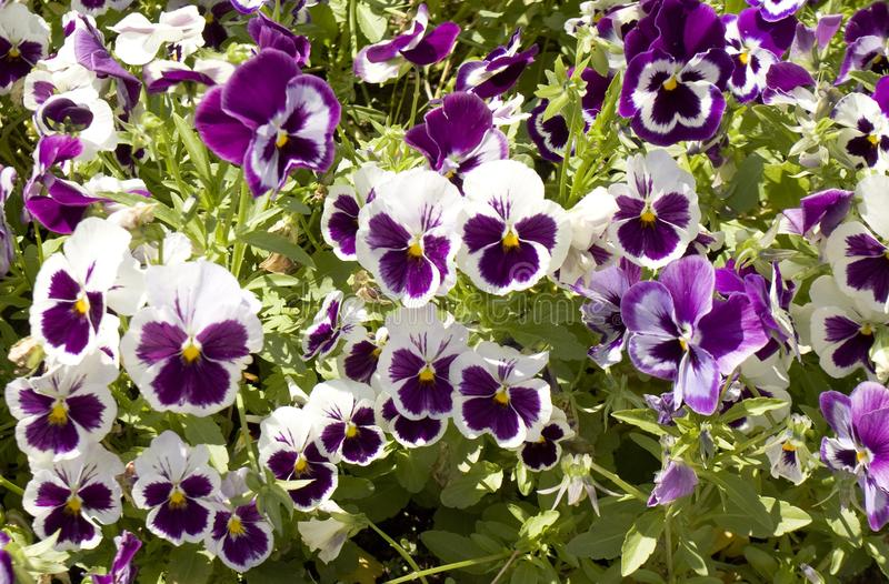 Violet-white pansies royalty free stock images
