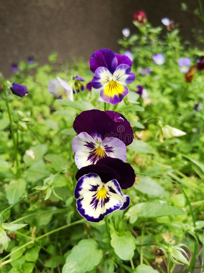 Violet, white pansies in a green garden. Pansy with a drop of water. stock photos