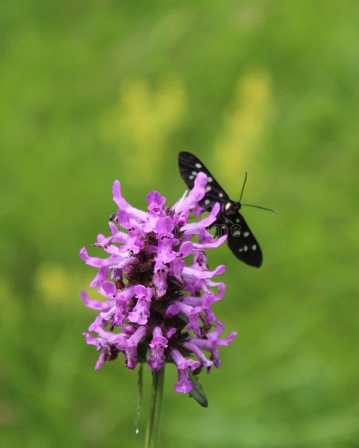 A violet wild flower stock photos