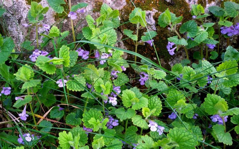 Violet wild flowers stock photos