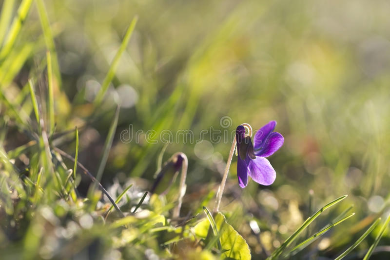 Violet. Wild violet rays of the morning stock photos