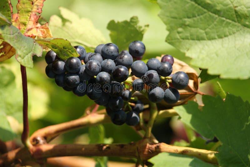 Download Violet wine grapes stock image. Image of dessert, chardonnay - 13575233
