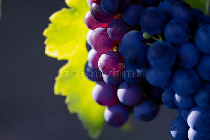 Violet wine grapes. Glowing violet wine grapes