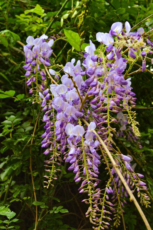 Violet wisteria in the garden royalty free stock images
