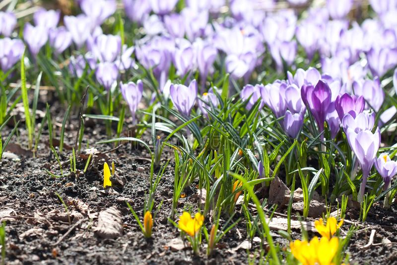 Violet and yellow crocuses flowers macro view. Beautiful spring time garden still life. Selective focus photography.  royalty free stock photos