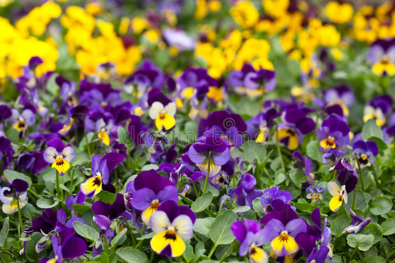 Violet and yellow violas stock photo