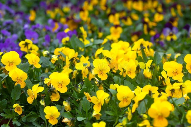 Violet and yellow violas. Springtime garden full of violet and yellow violas stock photography