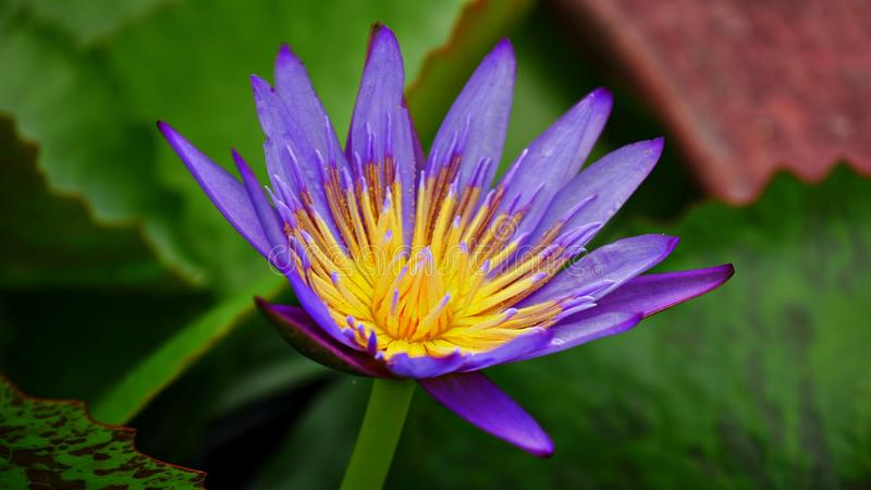 Violet and yellow water lily, full bloom topv iew. Top view shot of a purple and yellow water lily in full bloom, in green background royalty free stock photo