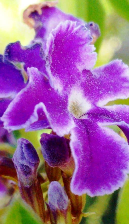 violeta fotos de stock