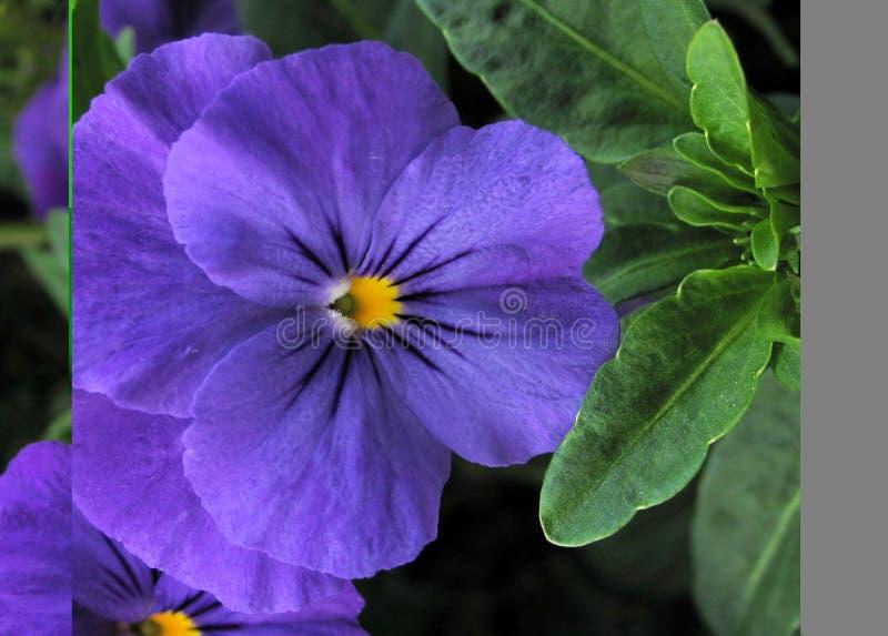 Violeta Imagem de Stock Royalty Free