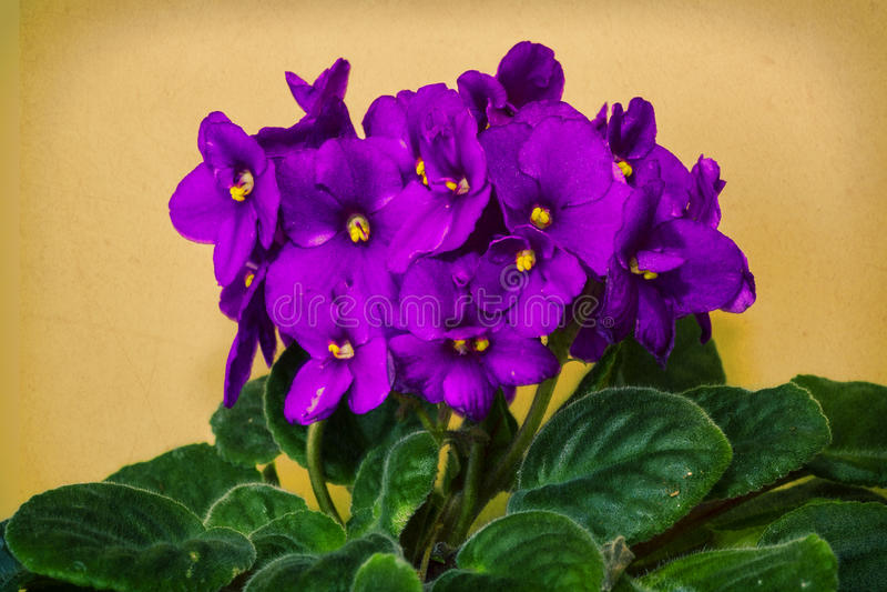 Violeta africana fotografia de stock