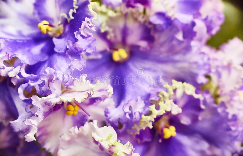 Violeta africana azul-branca de florescência Saintpaulia Foco seletivo fotos de stock royalty free