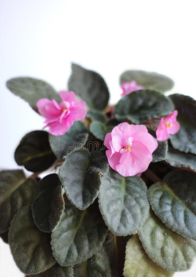 Violeta africana de florescência Mini planta em um potenciômetro imagens de stock
