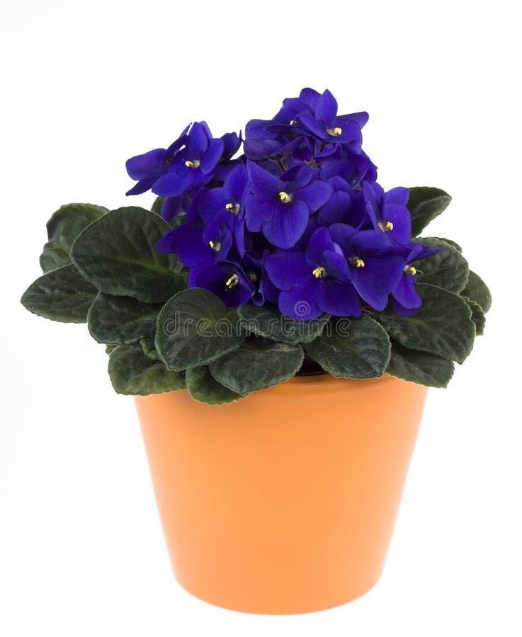Violeta africana em um potenciômetro de flor imagens de stock