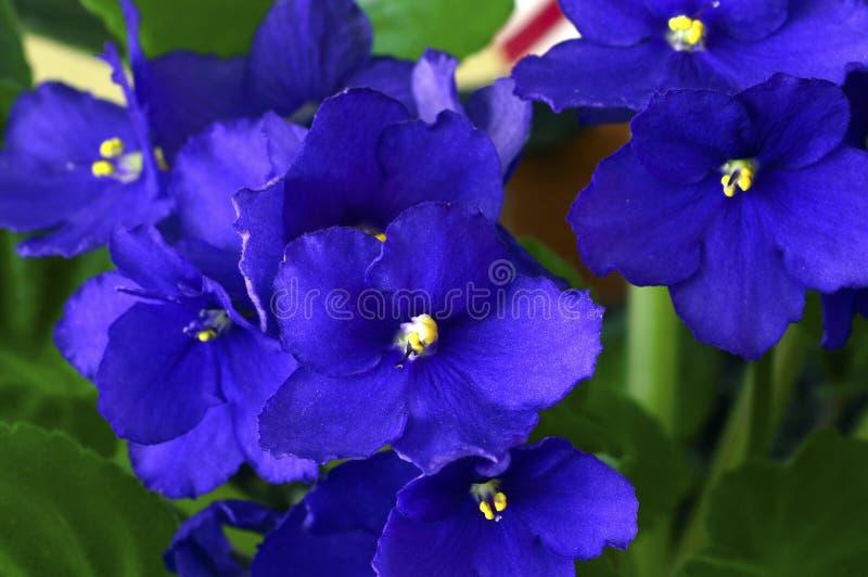 Violeta africana em um potenciômetro fotografia de stock royalty free