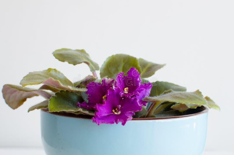 Violeta africana en pote azul imagen de archivo