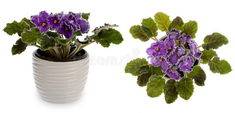 Violeta africana (saintpolia) en el pote de cerámica decorativo del escondrijo aislado imagenes de archivo