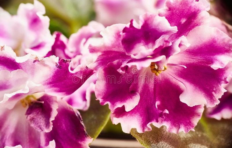 Violeta africana vermelho-branca de florescência Saintpaulia Foco seletivo imagem de stock royalty free