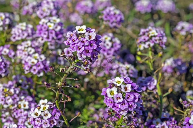 Violeta Alyssum flowers in a flowerbed against other flowers stock photo