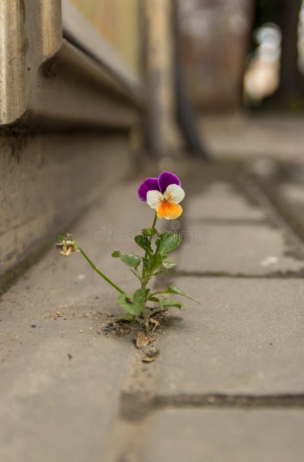 A violeta branca e amarela roxa bonita cresceu entre o asfalto e o muro de cimento foto de stock