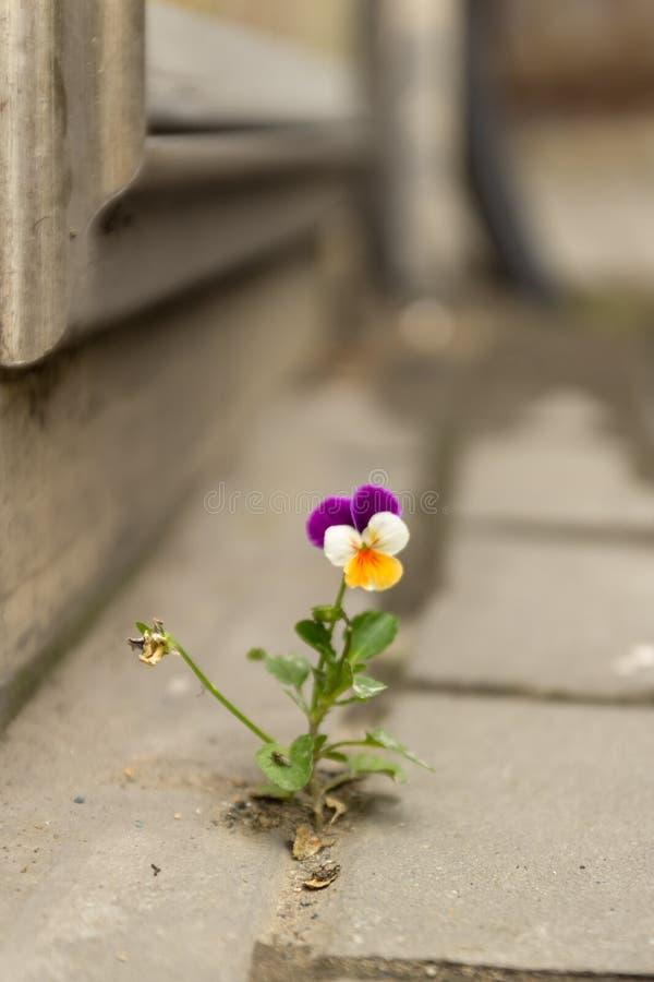 A violeta branca e amarela roxa bonita cresceu entre o asfalto e o muro de cimento imagem de stock royalty free