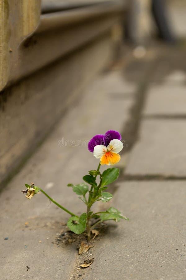 A violeta branca e amarela roxa bonita cresceu entre o asfalto e o muro de cimento imagens de stock royalty free