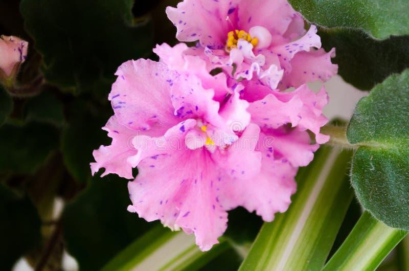 violeta Violeta cor-de-rosa Violeta encaracolado houseplants Violeta em um potenci?metro A base para seus cumprimentos do feriado imagens de stock royalty free