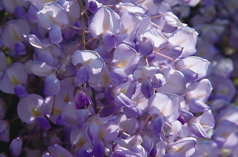 Violeta de Glicine imagenes de archivo