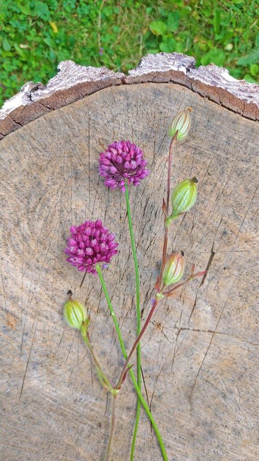 Violeta de la cebolla salvaje en un fondo de madera del nogal negro Beauti imagenes de archivo