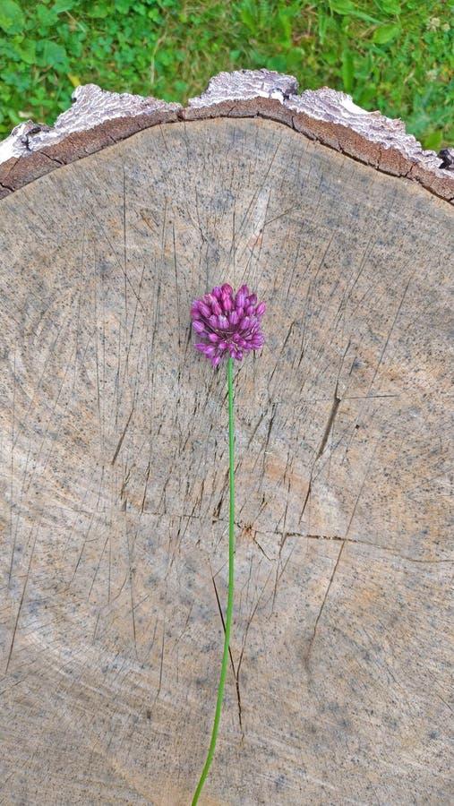 Violeta de la cebolla salvaje en un fondo de madera Wildflowers hermosos del verano minimalism fotos de archivo libres de regalías