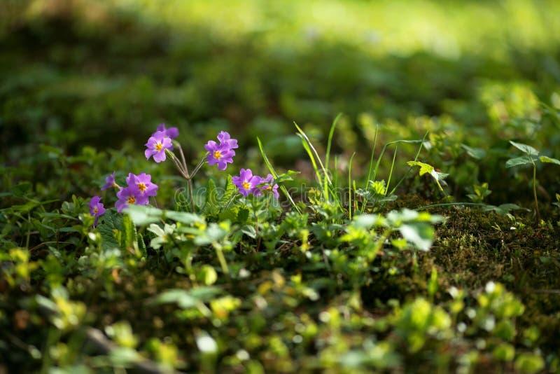 Violeta de la primavera imágenes de archivo libres de regalías