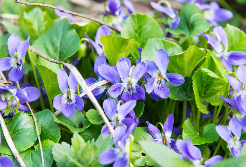 Violeta de madeira ou violeta de cão na primavera imagens de stock royalty free