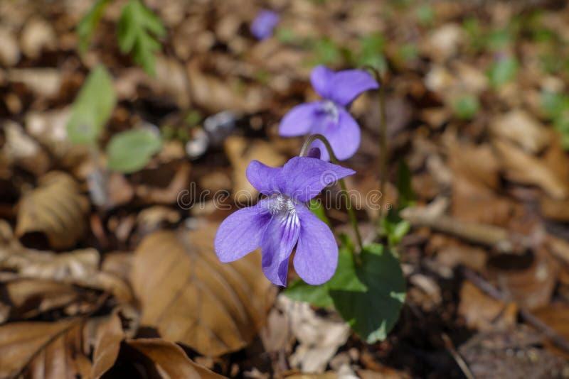 Violeta de madera imagen de archivo