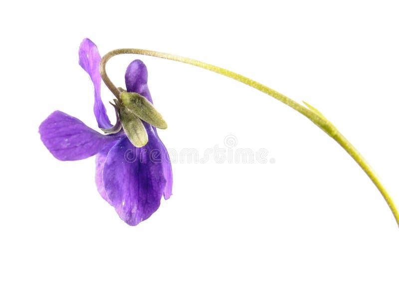 Violeta de madera u odorata de la viola aislado en el fondo blanco imágenes de archivo libres de regalías