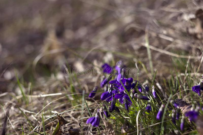 Violeta doce do odorata da viola, violeta inglesa, violeta comum - as flores violetas florescem na primavera no prado selvagem da imagens de stock