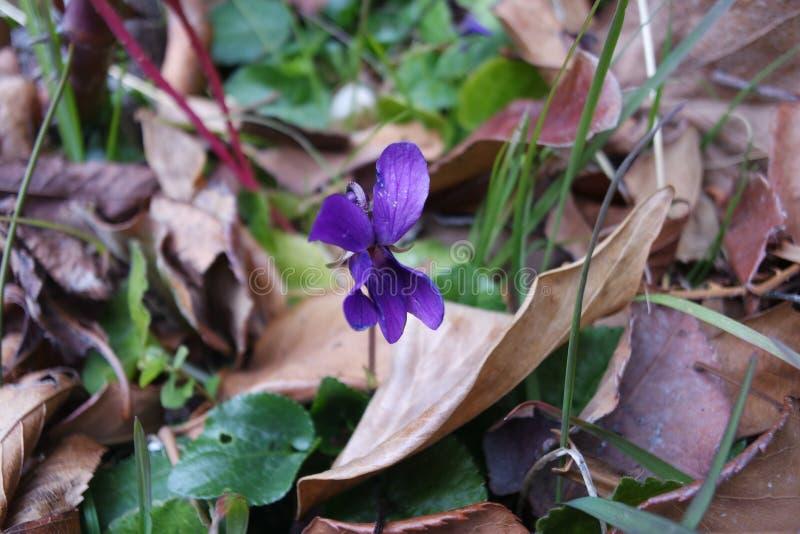 Violeta en otoño foto de archivo libre de regalías