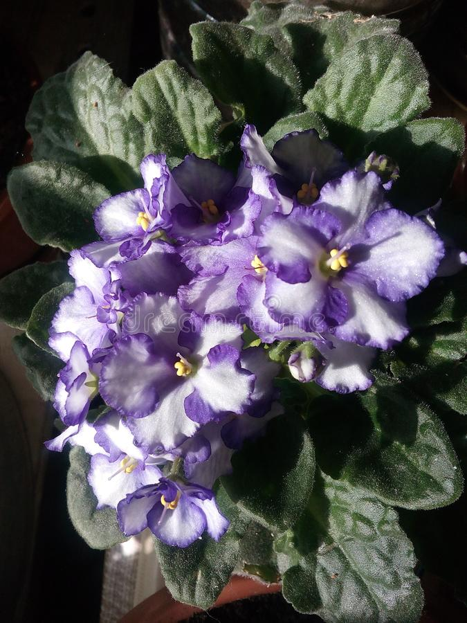Violeta, flor, viola, púrpura, fondo, azul, primavera, macro, hermosa, naturaleza, belleza, verde, verano, brillante, jardín, flo foto de archivo