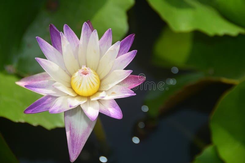 Violeta floreciente y Nelumbo blanco Nucifera Lotus imagen de archivo libre de regalías