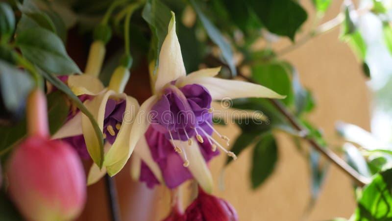Violeta hermosa y flores fucsias rojas en el verano imágenes de archivo libres de regalías