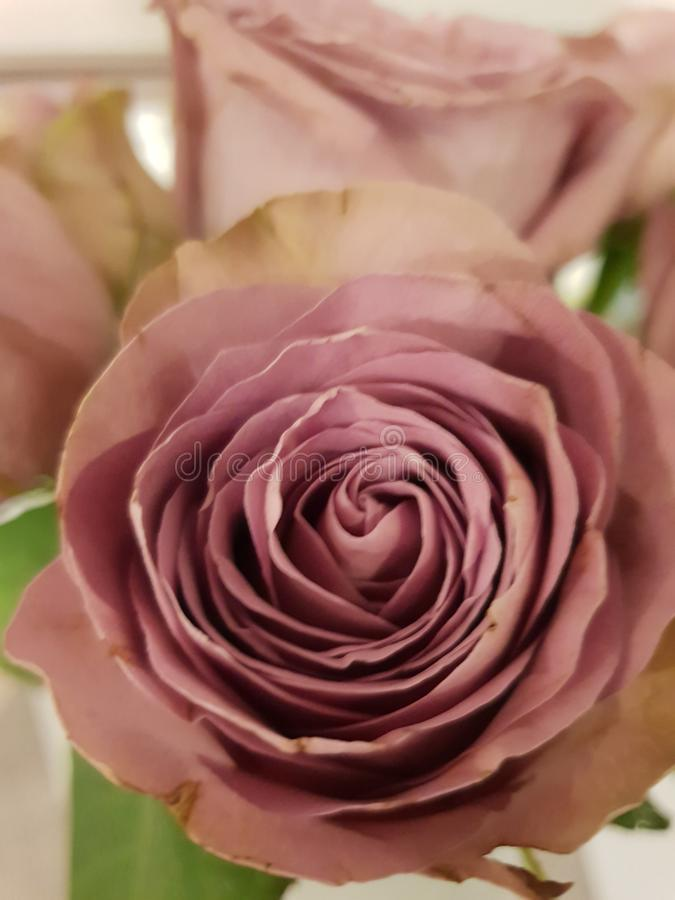 A violeta levantou-se fotografia de stock