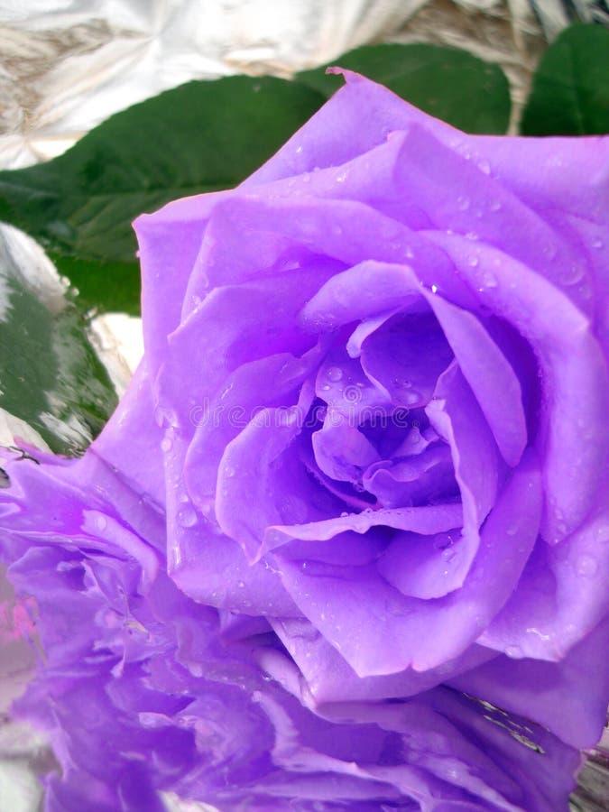 A violeta levantou-se foto de stock royalty free