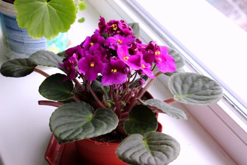 Violeta lilás bonita, flor da sala de casa fotos de stock royalty free