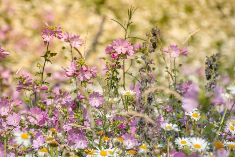 Violeta violeta natural do prado das flores foto de stock