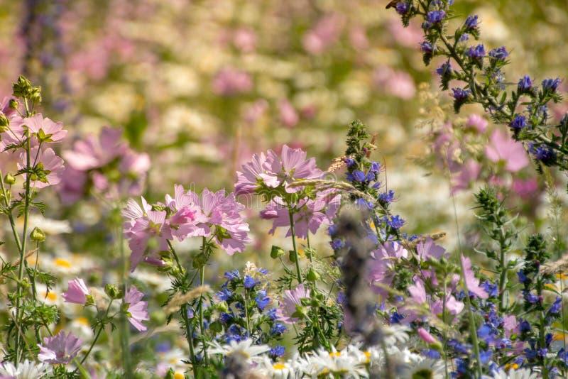 Violeta violeta natural do prado das flores fotografia de stock