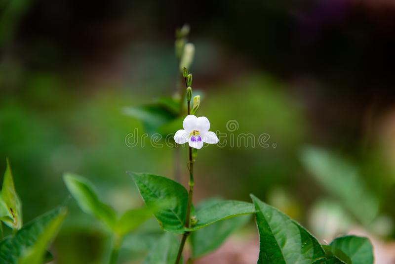 Violeta o primavera de Coromandel o del Ganges o asystacia chino del río Ganges o violeta o dedalera o Baya filipina, uso del arr imágenes de archivo libres de regalías
