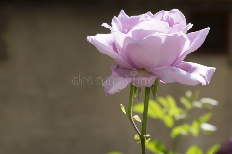 A violeta pálida aumentou no fundo cinzento imagens de stock