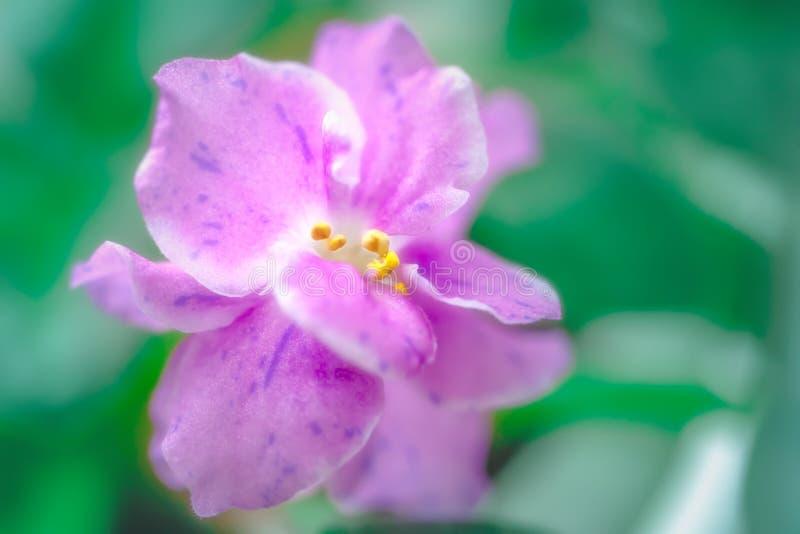 Violeta púrpura preciosa agradable de la floración Flores hermosas románticas apacibles El concepto de amor y de dulzura foto de archivo libre de regalías
